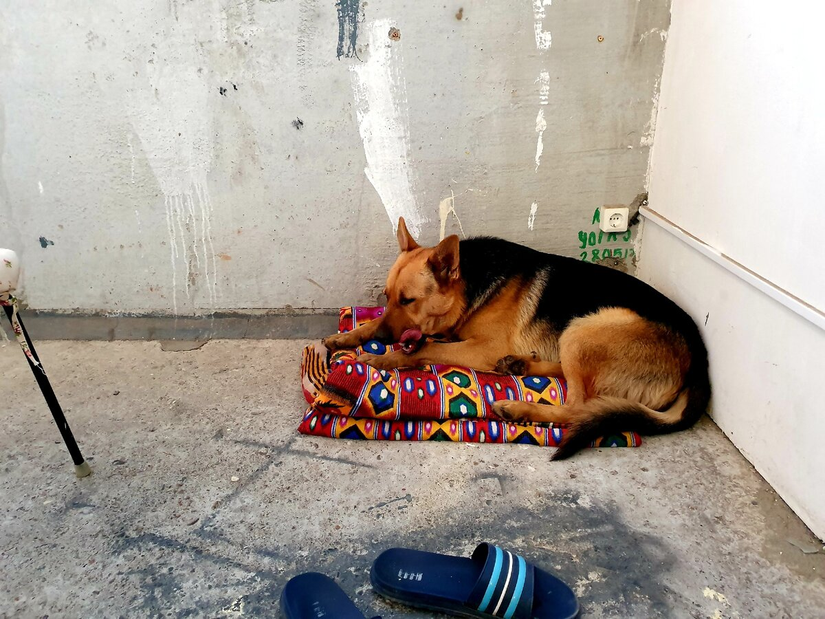 Нашёл на дороге собаку, не смог пройти мимо. Сегодня, переходя дорогу, я увидел на обочине лежащую на снегу собаку. Она, из последних сил, сопротивлялась и боролась за жизнь. Голова её безнадёжно лежала на земле, а тело - тряслось от холода